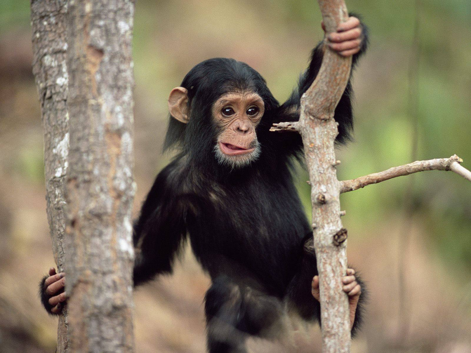 Young Chimpanzee Climbing Gombe National Park